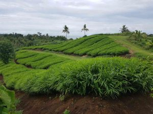 Fiji Farm - The Ginger People Blog